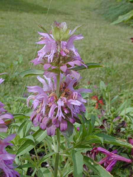 Lemon Bee Balm (Monarda citriodora)