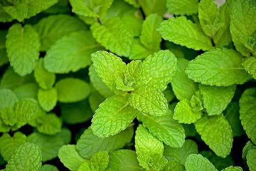 Peppermint Dried Herb