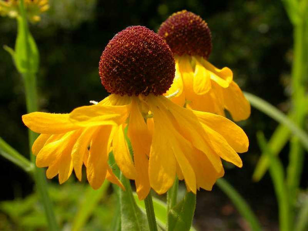 Purple Headed Sneezeweed (Helenium flexuosum)