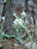 Pussytoes (Antennaria parlinii)