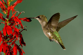 Hummingvird Attracting Pre-Planned Garden