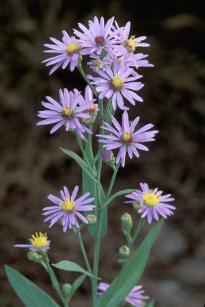 Smooth Aster (Symphyotricum Laevis)