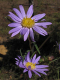 Southern Prairie Aster (Symphyotrichum paludosus)