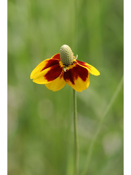 Mexican Hat(Ratibida columnifera)
