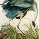 John James Audubon print will highlight Chicago auction at $120,000