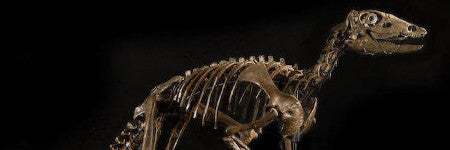 Thescelosaurus dinosaur skeleton to reach $325,000?