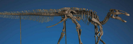 Duck billed dinosaur skeleton to sell at Christie's