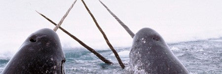 Pre-1960 Narwhal tusk among highlights at Charles Miller on October 29