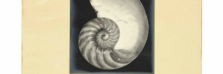Edward Weston's Nautilus Shell coming to Christie's