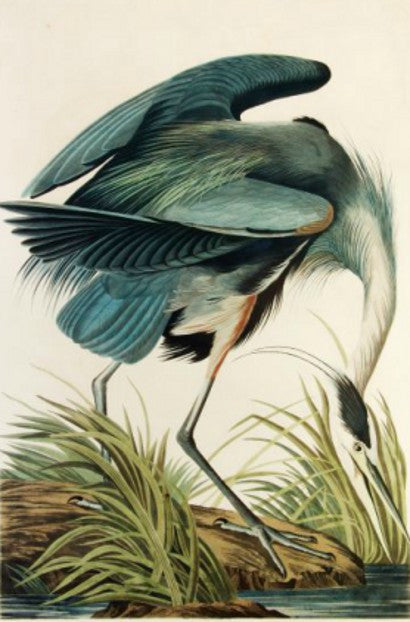John James Audubon Birds of America The Great Blue Heron