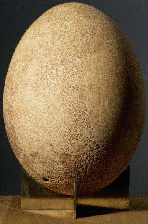 Elephant bird egg extinct fossil
