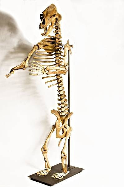 Ice Age cave bear fossil skeleton