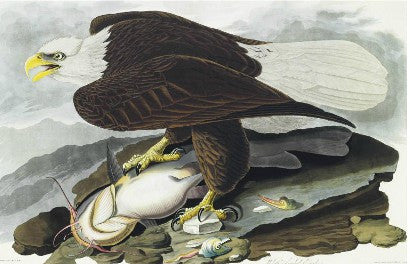 John James Audubon Birds of America Eagle
