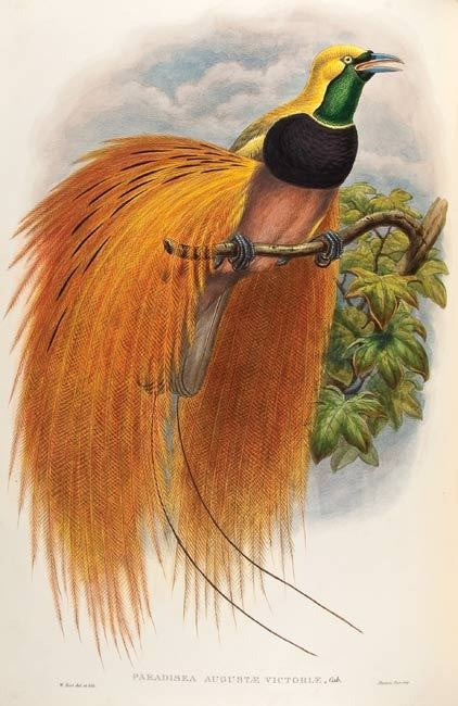 Sharpe's Birds of Paradise