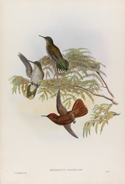 John Gould Hummingbird supplement