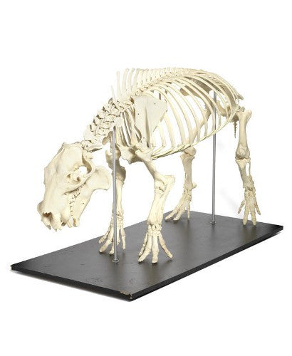 Hippopotamus skeleton to auction for $24,000?