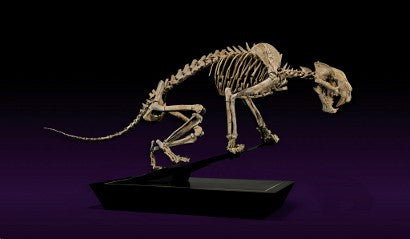 sabre-tooth tiger auction