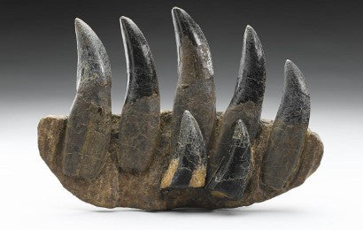 T-rex teeth auction