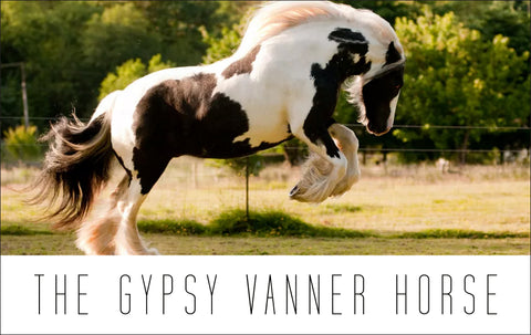 The Gypsy Vanner Horse