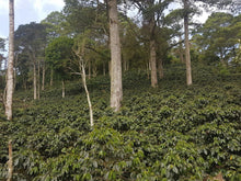 Catuai coffee plants growing on David Lopez's Honduran coffee farm