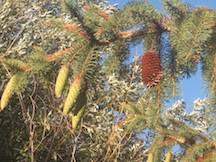 Fir Tree with Old and New Cones