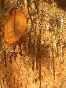 Pine Resin Released by the Tree to Protect a Wound