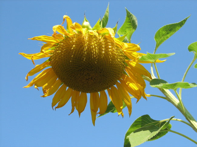 sunflower-9-14-08