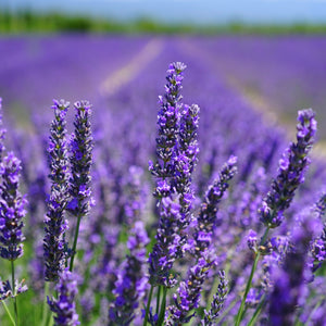 lavender essential oil, image lavender fields