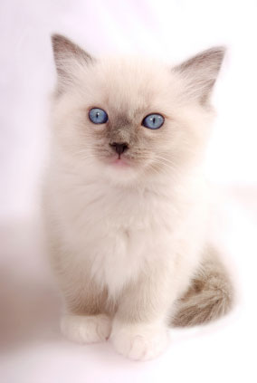Your Complete Health & Care Resource For Ragdoll Cats...