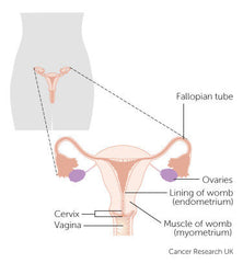 Cervical Cancer And Where It Is Formed