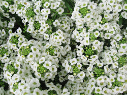 Seasonal Color Rotation - White Alyssum