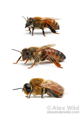 honeybees, worker bee, queen bee, drone bee