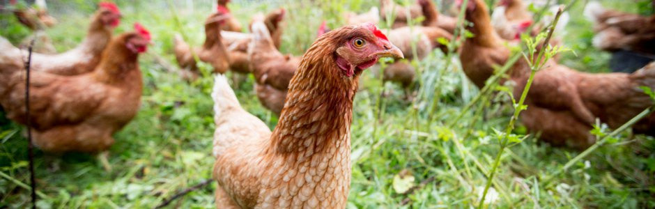 About fresh eggs and pasture hens at EdenThistle