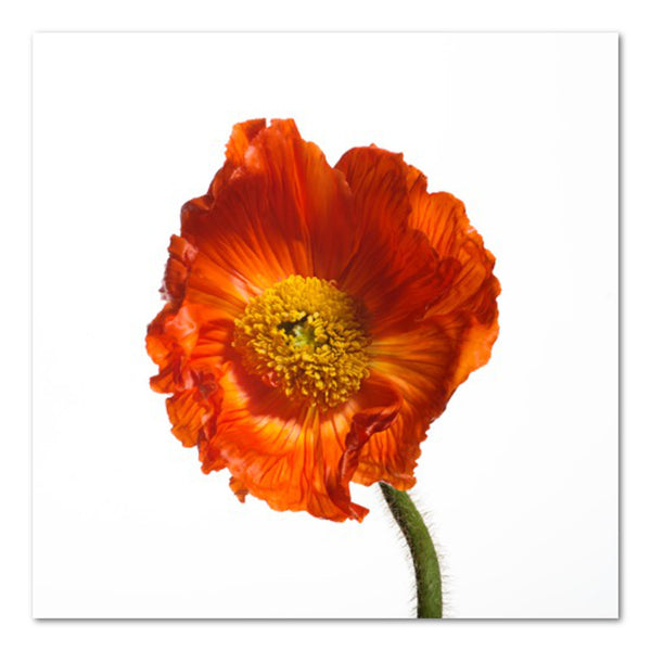Poppy III Floral Photo by Wiff Harmer