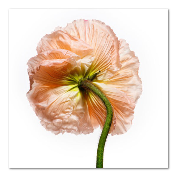 Poppy II Floral Photo by Wiff Harmer