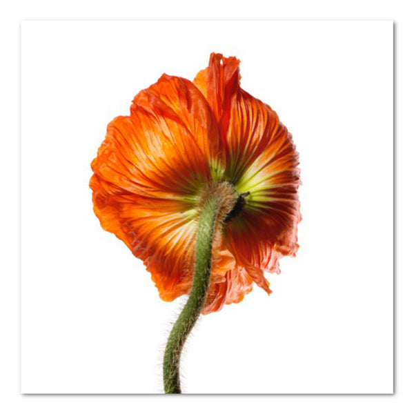 Poppy IV Floral Photo by Wiff Harmer