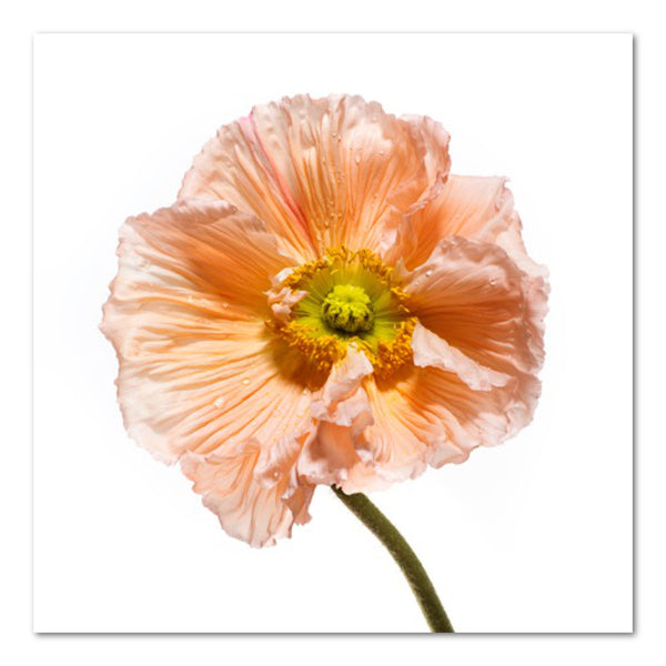 Poppy I Floral Photo by Wiff Harmer
