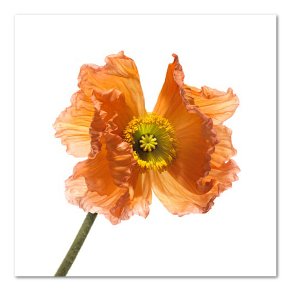 Poppy V Floral Photo by Wiff Harmer