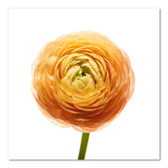 Ranunculus Floral Photo by Wiff Harmer - Wall Art - Wiff Harmer - Salut Home