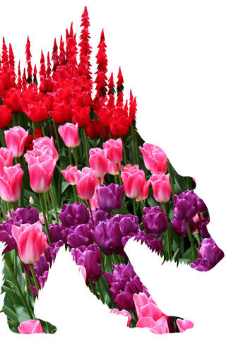 BEAR of TULIPS. Digital photo art design.  This photo on during a great trip to the Skagit Valley Tulip Festival.  Located near the towns of La Conner, Mount Vernon and Burlington, not to many sites anywhere are as colorful as the tulips of the Skagit Valley in the spring. A beautiful day on one of our great adventures. Bear of Tulips Photo Art Print by Steve and Dalton Lovitt of SQUATCH Industries. Bear print available on White on Maroon Graphic Tee. Available in 11x14 print.