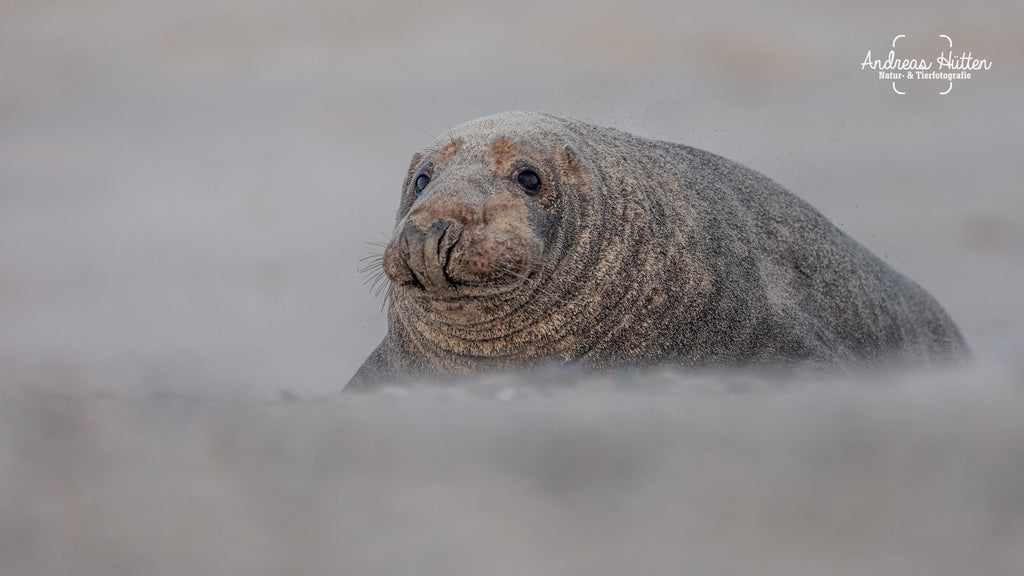 Adult grey seal on Helgoland