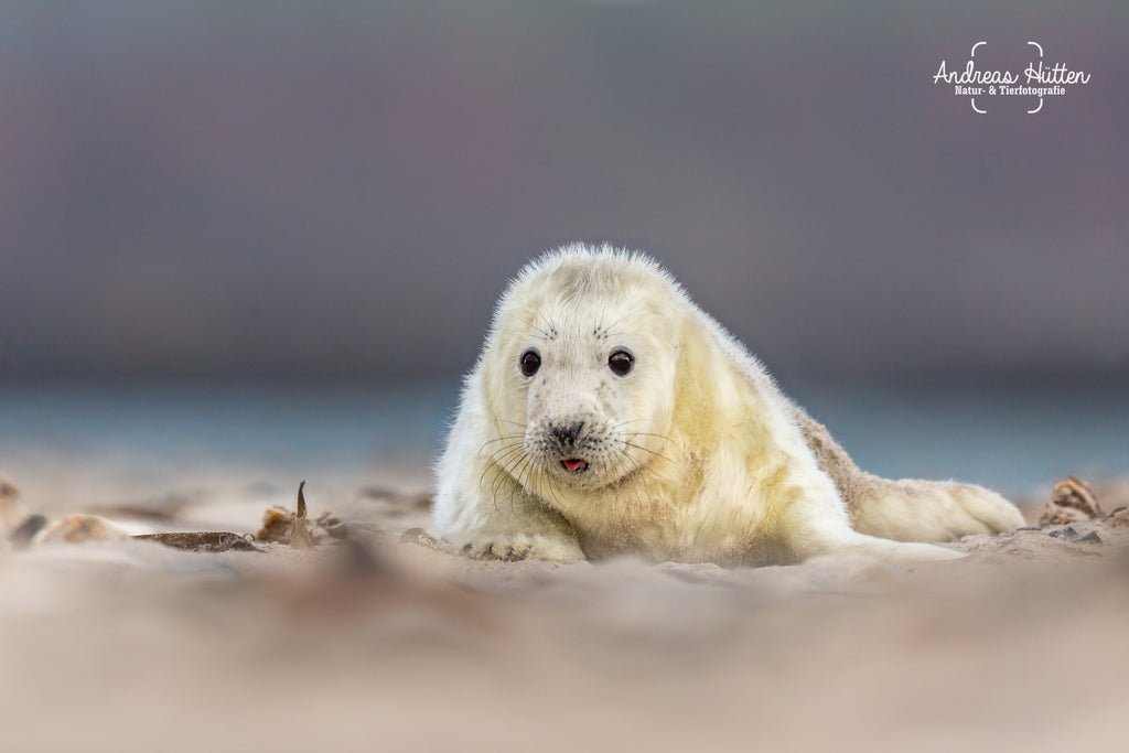 Grey seal cub on Helgoland