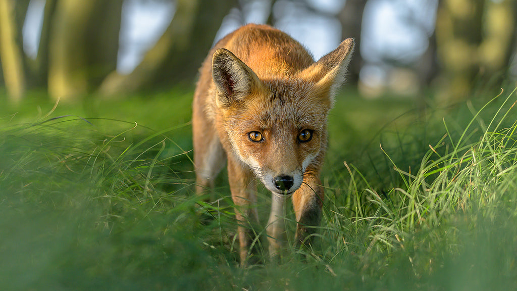 Fox on the hunt in Germany by Andreas Hutten