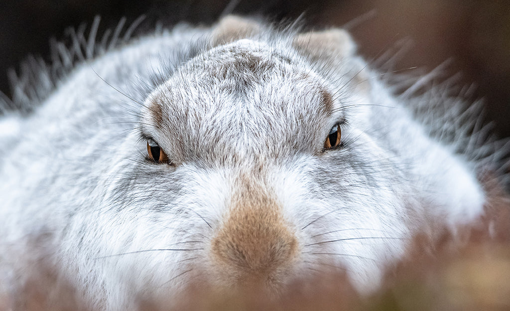 Hare looking straight into the lens by Andreas Hutten.