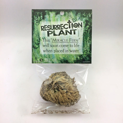 Resurrection Plant - Desert Gatherings