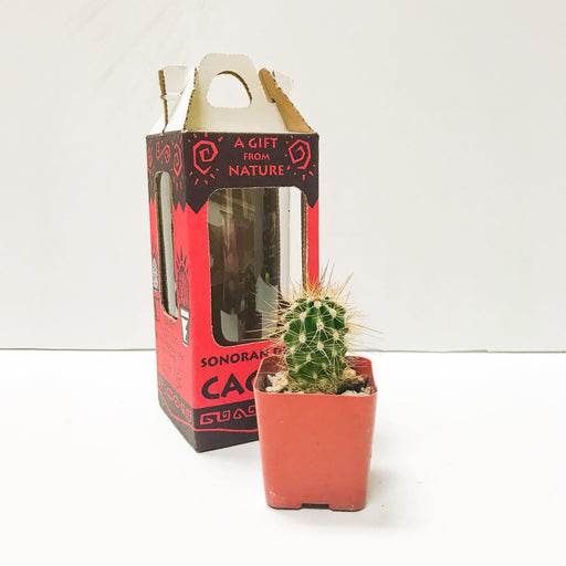 Live Saguaro Cactus Box - Desert Gatherings