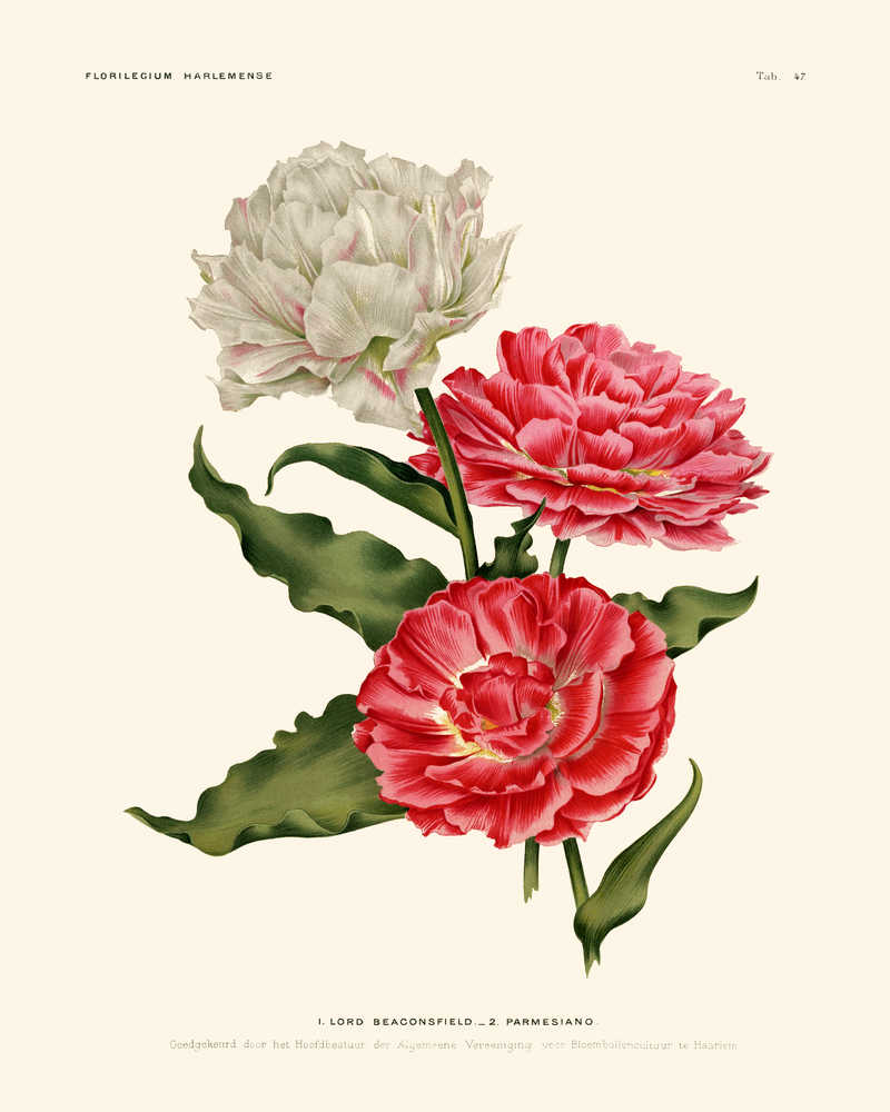 Double Tulips Pink and White Flowers Vintage Print