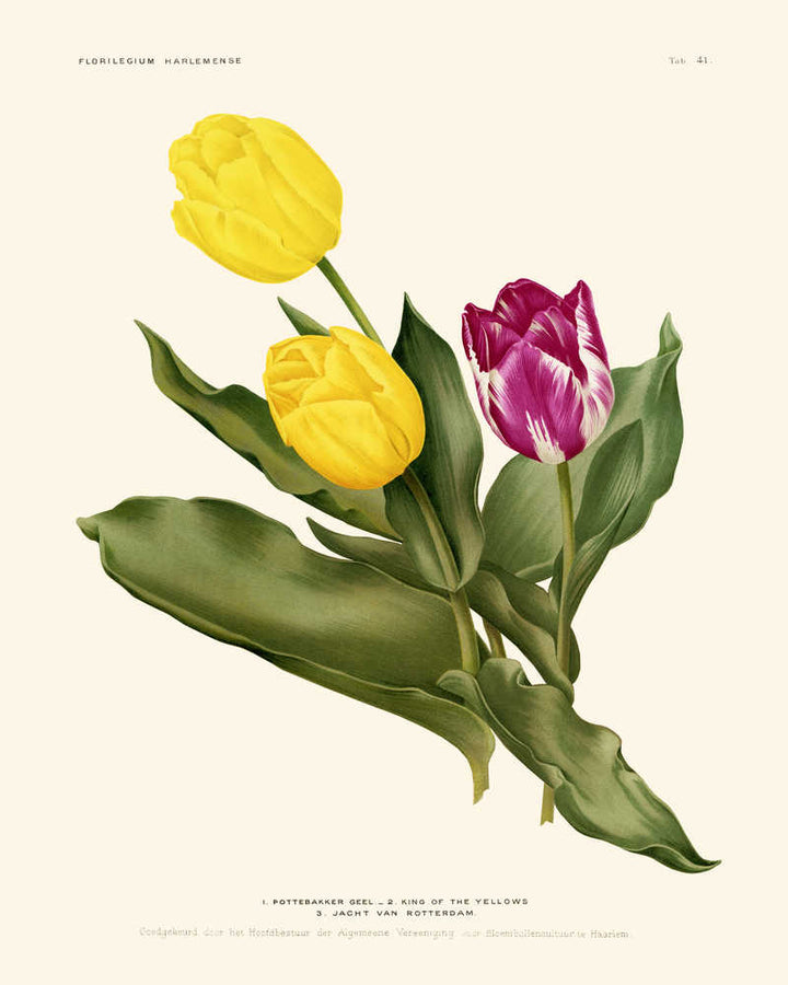 Tulips Purple and Yellow Flowers Vintage Print