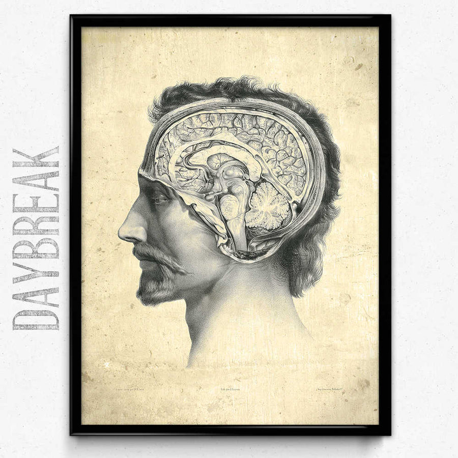 Anatomy Head and Brain Vintage Print - Anatomy Poster – Orion Wells
