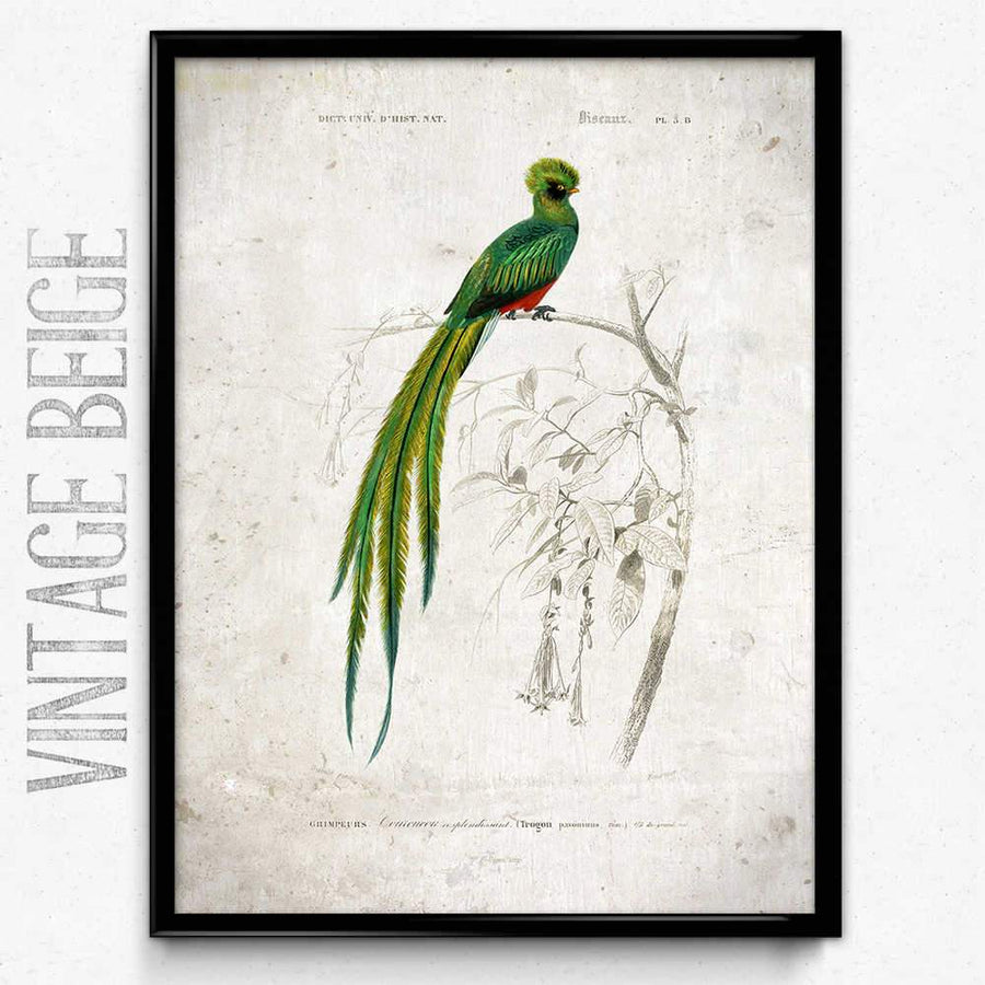 Quetzal Bird Vintage Print 쇼핑-Orion Wells